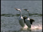 Pair of Clark's Grebes run together on water during courtship display, USA