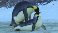 CU Pair of Emperor penguins mating in open space on icy ground stop as other penguins interrupt / Dumont D'Urville Station, Adelie Land, Antarctica