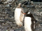 MS pair of Gentoo Penguins, Pygoscelis papua, standing on rocks, one albino is moulting, Antarctica