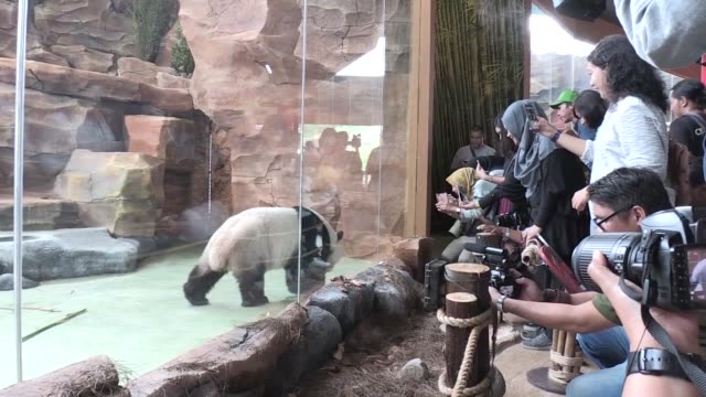 Pair of giant panda is shown to public in Taman Safari Zoo in Bogor outskirt of Jakarta on November 02 2017 The male panda named Cai Tao and the...