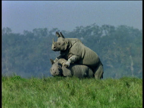 Pair of Indian rhinos mate leisurely in marsh, Kaziranga National Park, India