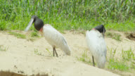 Pair of jabiru stork (Jabiru mycteria) preen at edge of river.