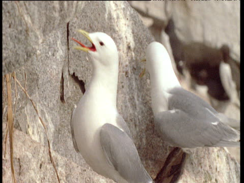 Pair of kittiwakes call showing erect tongues, Talan Island