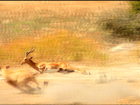 A pair of lionesses chase an impala across the African savanna. Selinda River, Botswana