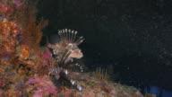 Pair of Lionfish