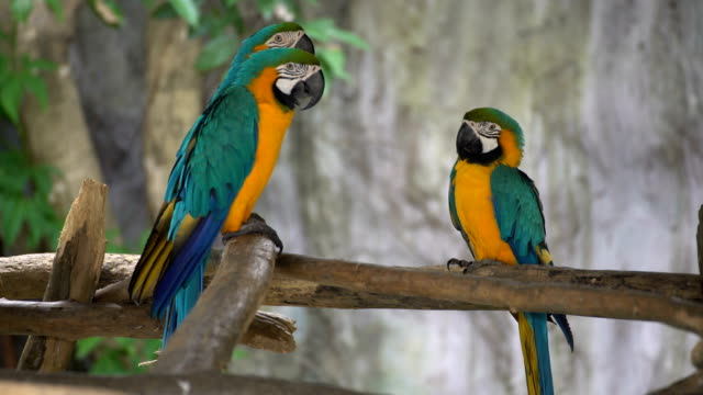 Pair of macaws perching on a branch