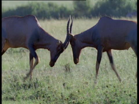 Pair of male topi antelope rut on savanna, Masai Mara