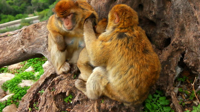 A pair of monkeys grooming each other.