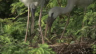 A pair of openbill storks build a nest. Available in HD.