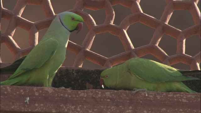 Pair of parakeets on Tomb of Akbar the Great Available in HD.