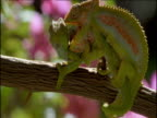 Pair of Parson's chameleons fighting on branch fall off and dangle by their tails, South Africa