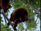 Pair of red howler monkeys call from branch in rainforest canopy, Brazil
