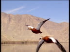 Pair of ruddy shelducks fly and call over Iranian landscape