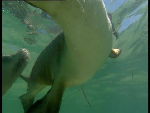 Pair of sealions examine camera in shallows and swim away, Essex Rocks, Western Australia