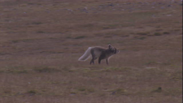 A pair of skuas repeatedly mob an Arctic fox trotting across the plains.
