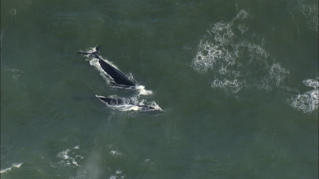 WS HA Pair of Southern Wright Whale diving in ocean, Muizenberg, Western Cape, South Africa