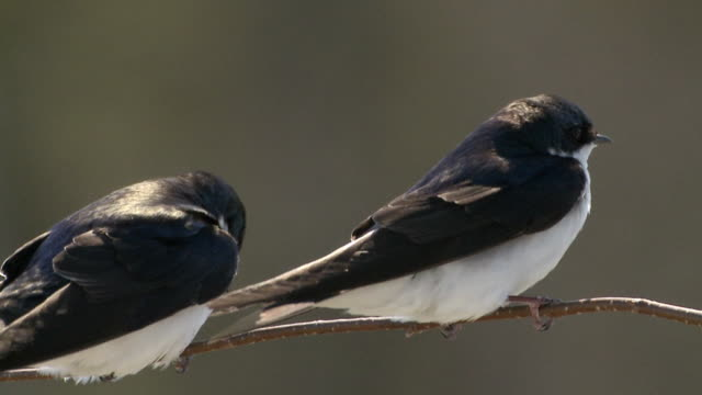 CU Pair of tree swallows perching on branch / Tweed, Ontaria, Canada