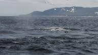 Ett par valar utfodring Alaskas kust