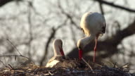 Pair of Wihte stork on the nest