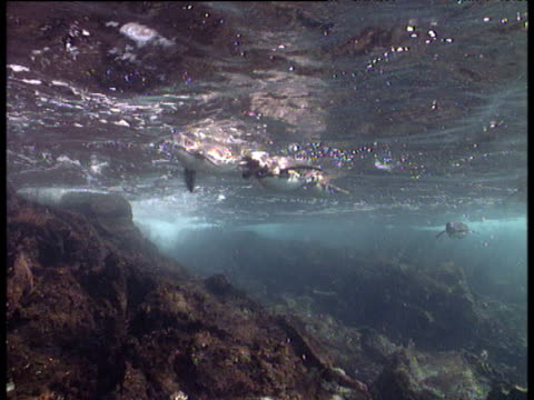 Pairs of Galapagos Penguins swim past camera, Galapagos