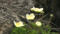 Pale yellow alpine flowers tremble in a breeze on Mt. Apoi in Japan.
