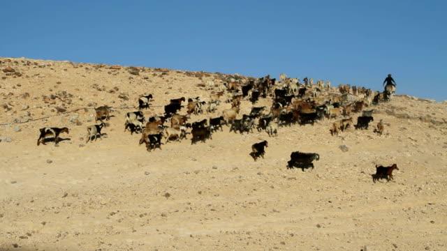Palestine, Tabana Bedouin camp around Jerusalem, herd of goats with shepherd