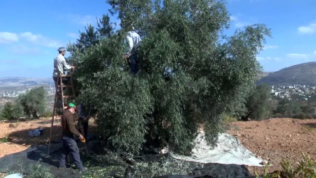 Palestinians collect olives in an olive grove on the outskirts of the West Bank town of Qaryut near Nablus on October 20 2017