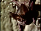 CU Pallid Bat, Antrozous pallidus, hanging from ceiling ears twitching, USA