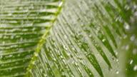 SLO MO TD Palm leaf in heavy rain