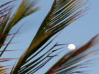 CU, Palm leaves against sky with white full moon, Jericoacoara, Brazil