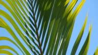 HD Palm swaying in breeze loop