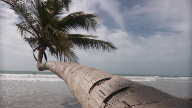 WS Palm tree leaning out over ocean/ Scarborough, Tobago, Trinidad and Tobago