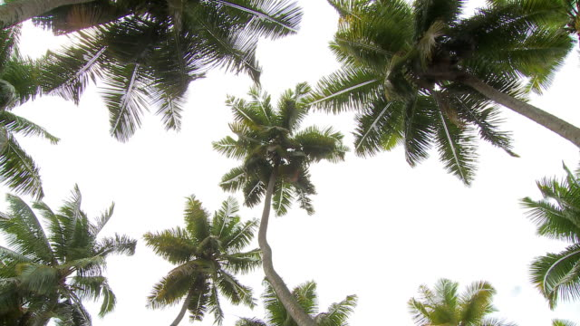 HD: Palm tree tops