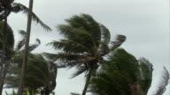 MS, Palm trees blowing in wind, Moorea Island, Tahiti, French Polynesia