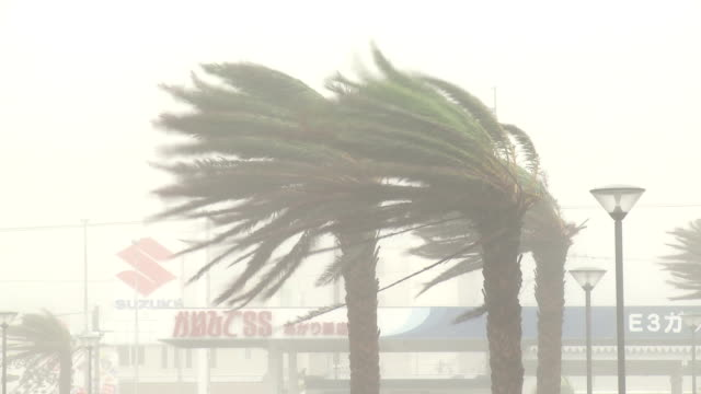 Palm Trees Thrash In Hurricane Wind And Rain
