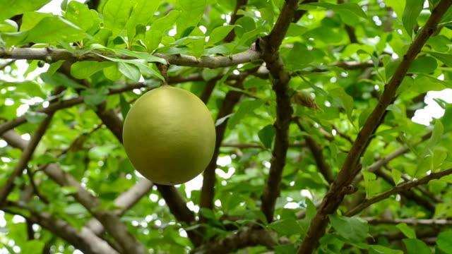 Pamelo tree