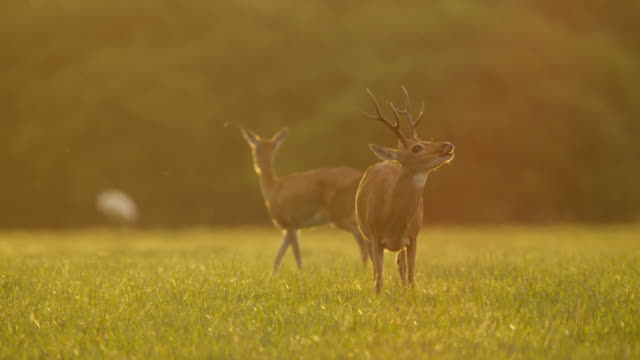 Pampas deer (Ozotoceros bezoarticus) grazes at sunset, lifts head and sniffs as female walks past.