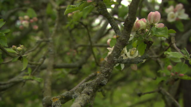 Pan across branches on Newton's apple tree