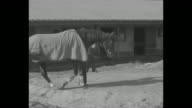 Pan along trackside crowd at Agua Caliente Racetrack / crowd shot / trainer Tommy Woodcock walks Phar Lap around side of building / pan up Phar Lap...