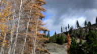 Pan and up and down shot of aspen trees and golden leaves blowing in the wind with puffy clouds in sky.