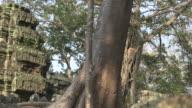 Pan down a large tree at the Bayon temple in Angkor, Cambodia.