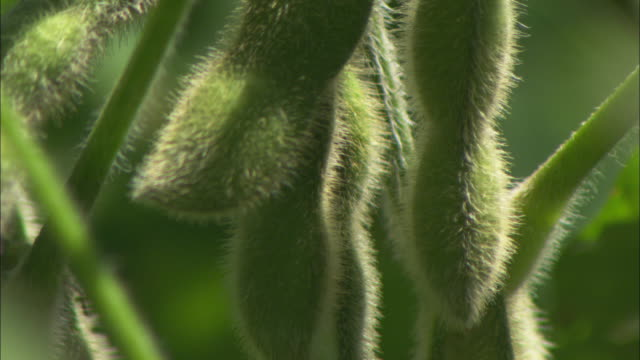 Pan down the seed pods on a soy plant.