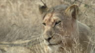 Pan from face of juvenile lion as it lies down, over lioness to mane of resting lion.