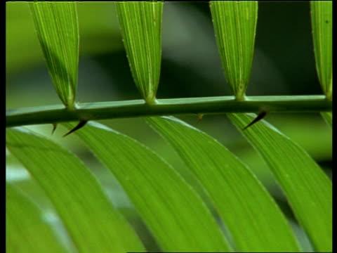 CU Pan left across backlit leaf frond, India