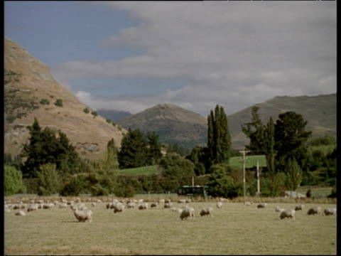 Pan left across field full of sheep South Island