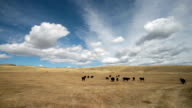 Pan left and right of black angus cows in large golden prairie grass field with puffy clouds and blue sky.