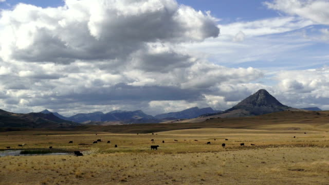 Pan left and right of black angus cows in large golden prairie grass field with rocky mountains in background and puffy clouds and blue sky.