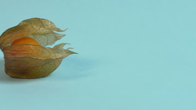 Pan left onto, then off, a single physalis fruit on a plain blue background.