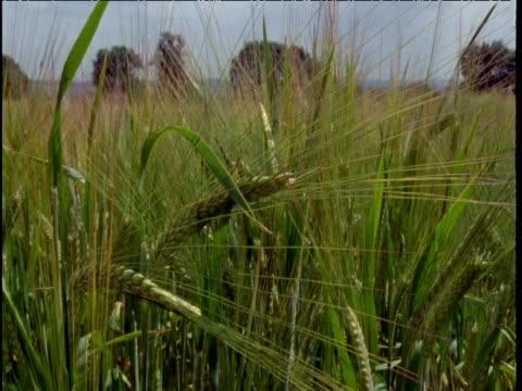 Pan left over barley ears ripening in field UK