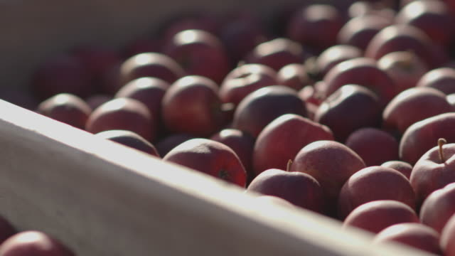 Pan left over crates piled high with Royal Gala apples at an orchard in Kent, UK.